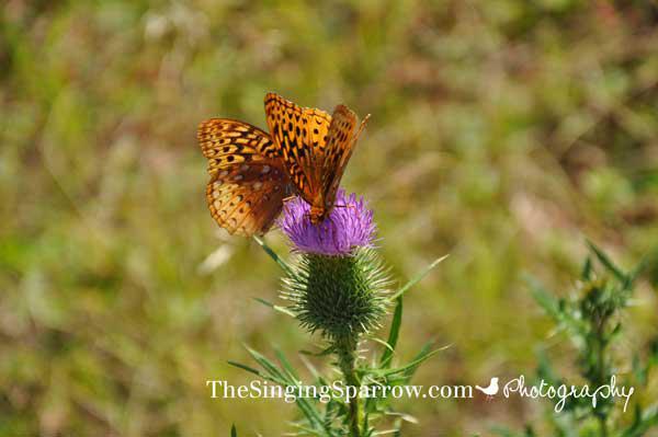 RickettsGlenButterflies