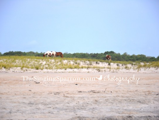 Roadtrip 2015 - Assateague Island National Seashore
